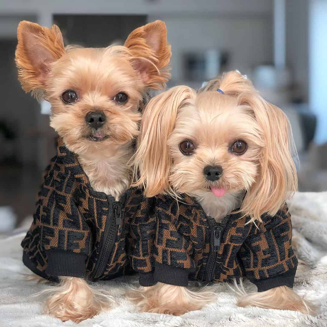 Furdi Yorkshire Hooded Jacket •  Small Dog Hoodie