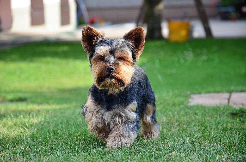 yorkshire terriers facts