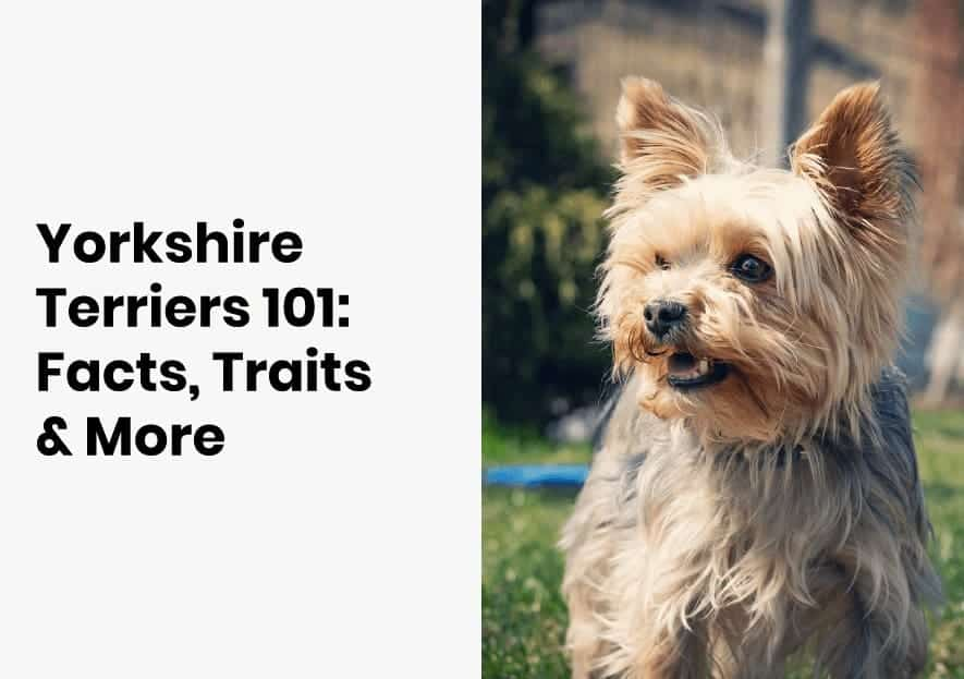yorkshire terriers facts and traits