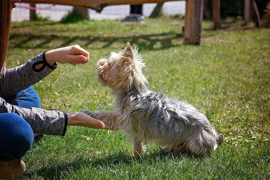 Can Yorkshire Terriers Live Outside?